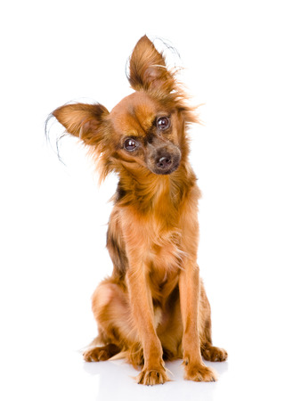 Russian toy terrier looking curiously at the camera  isolated on white background photo