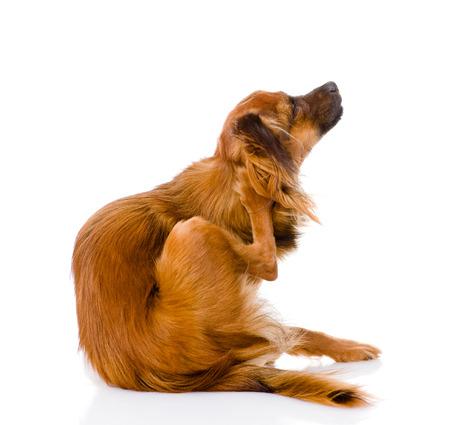 toy terrier: Russian toy terrier graffi isolato su sfondo bianco Archivio Fotografico