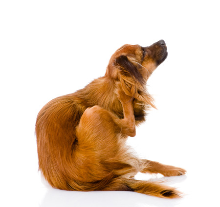 scratches: Russian toy terrier scratching  isolated on white background