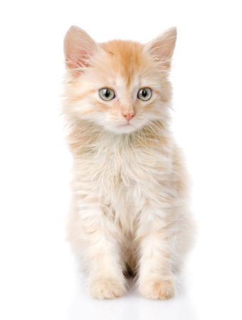 fluffy orange beautiful kitten  isolated on white background photo