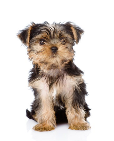 Yorkshire Terrier: Yorkshire Terrier puppy sitting in front  isolated on white background