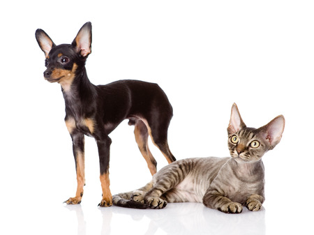 toyterrier: devon rex cat and toy-terrier puppy together  looking away  isolated on white background