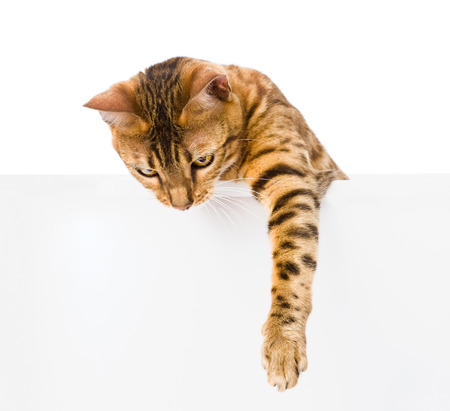 bengal kitten with empty board  isolated on white background