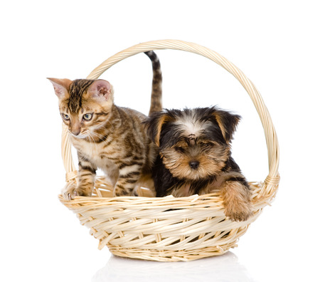 purebred bengal kitten and Yorkshire Terrier  puppy sitting in basket  isolated on white background photo