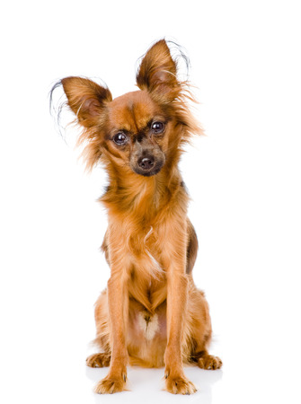 Russian toy terrier sitting in front  isolated on white background photo
