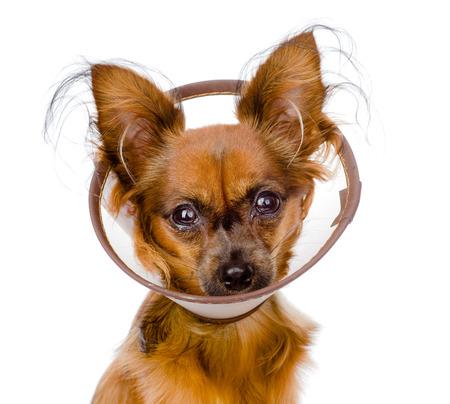 toy terrier: Russo toy terrier indossando un collare di imbuto isolato su sfondo bianco