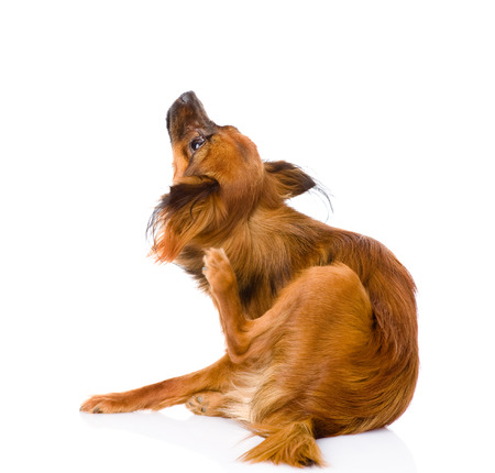 miniature dog: Russian toy terrier scratching  isolated on white background
