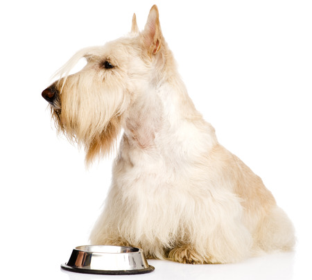 Scottish Terrier begging for food  isolated on white background photo