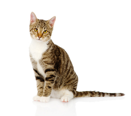 흰색 배경에 고립 된 젊은 얼룩 고양이