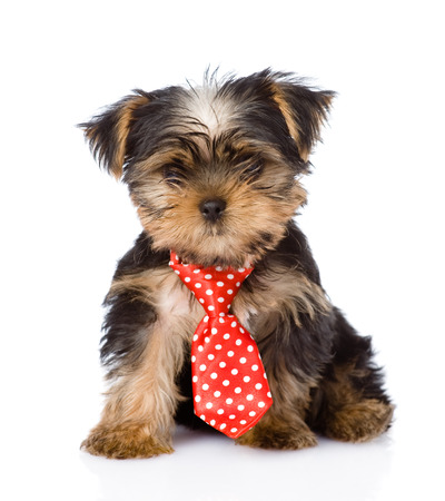 yorkie: Yorkshire Terrier puppy with tie sitting in front  isolated on white background