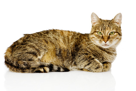gato gris: grande gato acostado en el perfil aislado en fondo blanco Foto de archivo