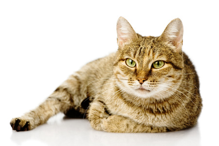 fat cat  isolated on white background Stock Photo