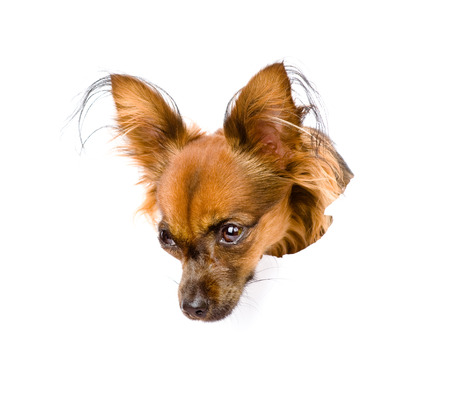 Russian toy terrier in paper side torn hole looking down  isolated on white background photo