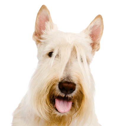 Scottish Terrier in front view  isolated on white background photo