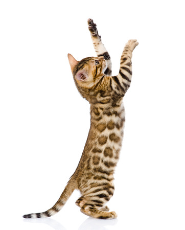playful Bengal cat  isolated on white background