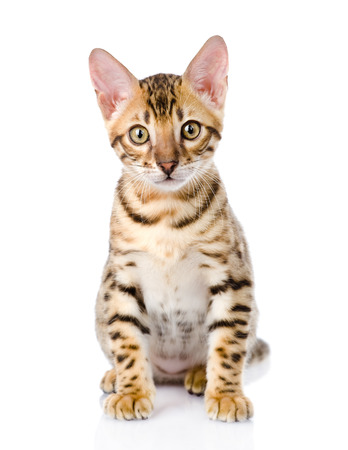 prionailurus: purebred bengal kitten  looking at camera  isolated on white background Stock Photo