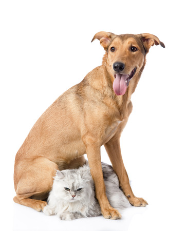 mixed breed dog and persian cat  looking at camera  isolated on white background photo