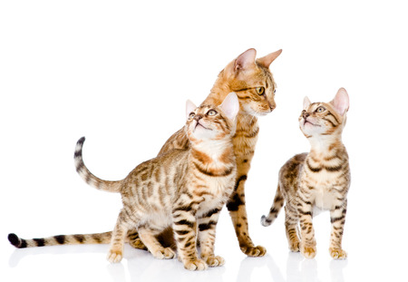 prionailurus: little bengal  kittens and mother cat   isolated on white background