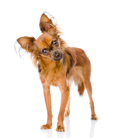toy terrier: Russo toy terrier guardando curiosamente la fotocamera isolata su sfondo bianco
