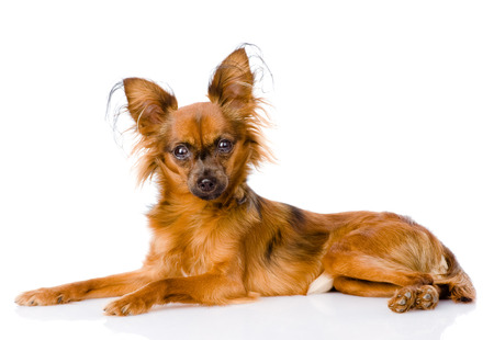 Russian toy terrier lying in profile  isolated on white background photo
