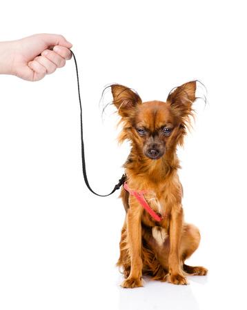 toy terrier: mano in possesso di un giocattolo russo cucciolo terrier al guinzaglio isolato su sfondo bianco Archivio Fotografico