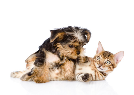 purebred bengal kitten and Yorkshire Terrier puppy together  isolated on white background photo