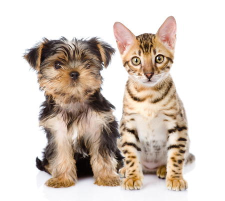 purebred bengal kitten and Yorkshire Terrier puppy  isolated on white background photo
