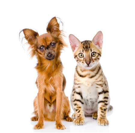 tilt views: purebred bengal kitten and Russian toy terrier  isolated on white background Stock Photo