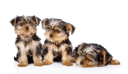 yorkie: three Yorkshire Terrier puppies  isolated on white background