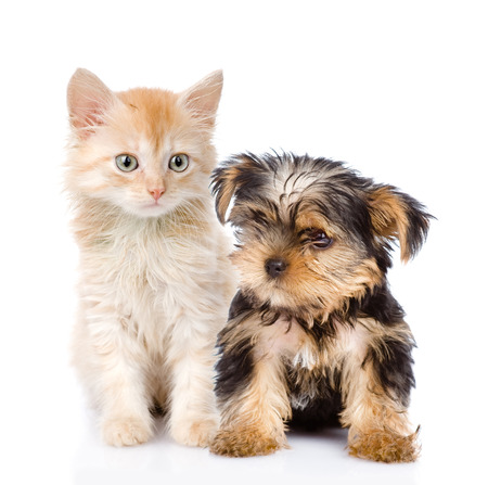 little Yorkshire Terrier and kitten  isolated on white background Stock Photo
