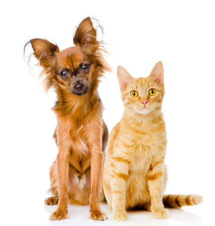 toy terrier: Russian toy terrier and red cat sitting in front  isolated on white background Stock Photo