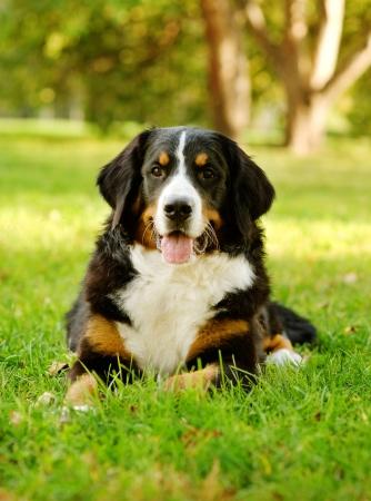 sennenhund: Bovaro del Bernese Berner Sennenhund sdraiato sull'erba