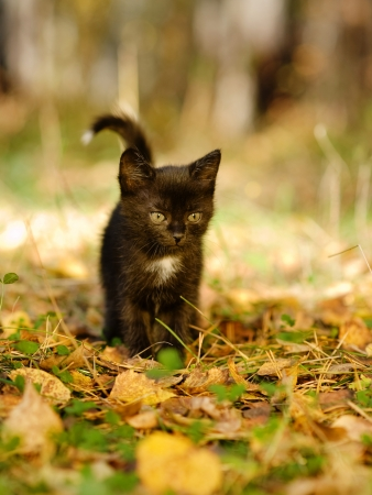black cat walks in the woods photo