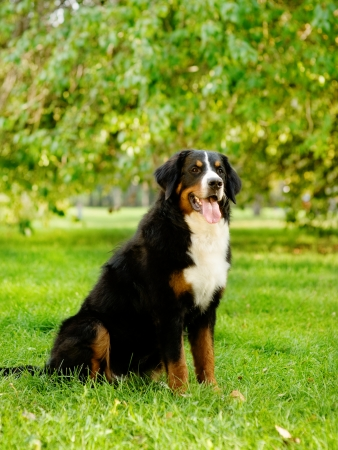 berner: bernese mountain dog  in nature