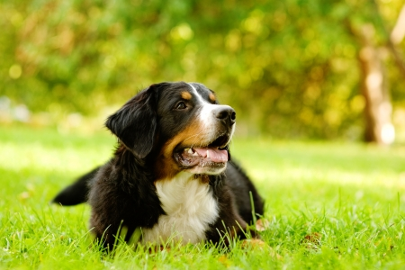 bernese mountain dog lying on grass photo