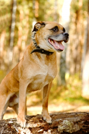 big dog: portrait of a mixed breed dog in Forest