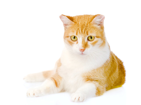 orange cat lying in front  isolated on white background photo