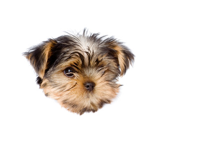 Yorkshire Terrier puppy in paper side torn hole  isolated on white background photo