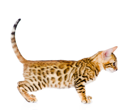 side shot: portrait of a purebred bengal cat  looking away  isolated on white background Stock Photo
