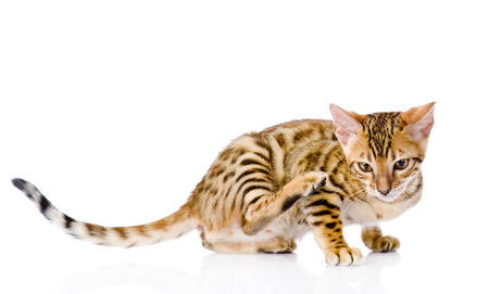 prionailurus: bengal cat  scratching isolated on white background