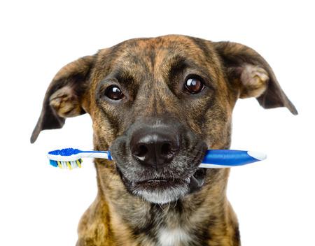 白い背景で隔離の歯ブラシを持つ混合された品種犬 写真素材