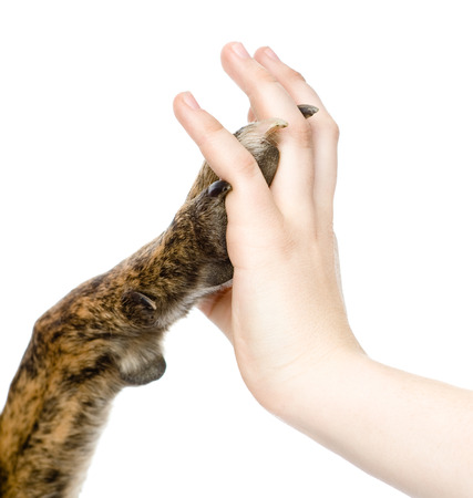 Give me five - Dog pressing his paw against a woman hand  isolated on white background