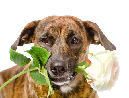 dog with a red rose  isolated on white background photo