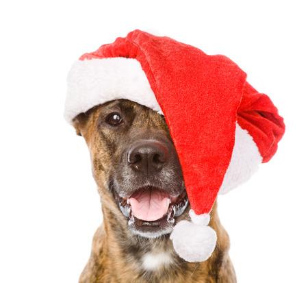 large dog: Large dog in red christmas Santa hat  isolated on white background