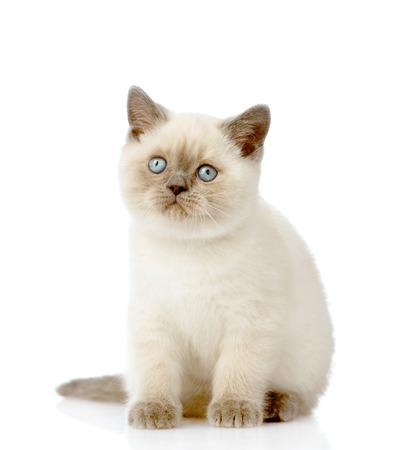 British Shorthair Kitten looking away  isolated on white background photo