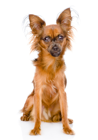 toy terrier: Russian toy terrier sitting in front  isolated on white background
