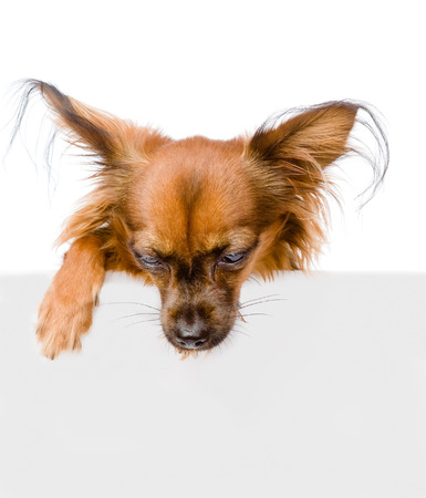 toy terrier: Russo toy terrier sopra la bandiera bianca guardando verso il basso isolato su sfondo bianco Archivio Fotografico