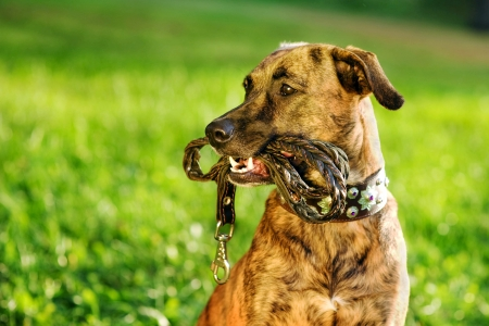 mixed breed dog with a leash in his mouth