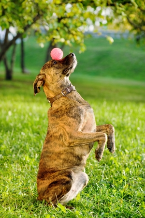 Gemengd ras hond balanceren bal op de neus