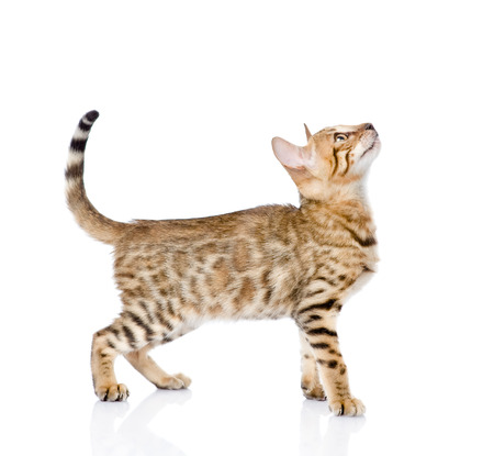 side shot: portrait of a purebred Bengal cat in profile  looking up  isolated on white background Stock Photo